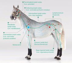 Equine Lymphatic System - An equine manual lymph drainage practitioner will have an in-depth knowledge of this, and know how to help your horse to be healthier where possible.