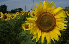 Title: Sunflowers Artist: Diane Lent Medium: Photograph - Photography