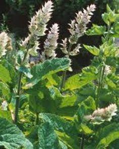 A muskotályzsálya termesztése Herbs, Garden, Plants, Garten, Lawn And Garden, Herb, Gardens, Plant, Gardening