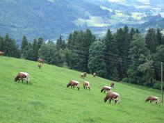 Muitas vacas.