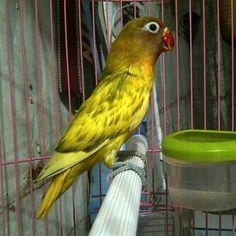 Unique Color Mutation Lovebird