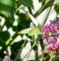 A Cabbage Butterfly on the Bi-Color Butterfly Bush.