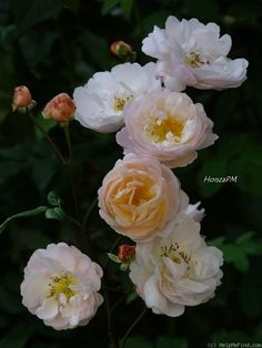 "Rose "" The Lady of the Lake "" , (Ausherbert) , bred by David C. H. Austin (United Kingdom, before 2014)"