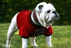 Uga named nation's top mascot | Online Athens