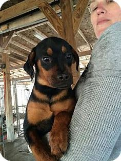 Hopewell Junction, NY - Pug/Rottweiler Mix. Meet Cooper, a puppy for adoption. http://www.adoptapet.com/pet/15056822-hopewell-junction-new-york-pug-mix
