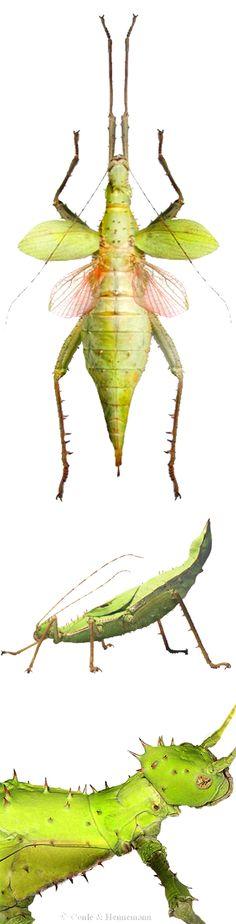 Heteropteryx dilatata, female