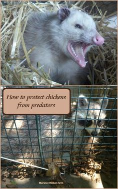 Predators are a big problem for chicken keepers. Here's how to protect chickens from predators like raccoons, opossum and snakes. Here's why you should trap and remove predators from your property. Raising Backyard Chickens, Keeping Chickens, Backyard Farming, Pet Chickens, Urban Chickens, Backyard Ducks, Silkie Chickens, Chicken Garden, Backyard Chicken Coops
