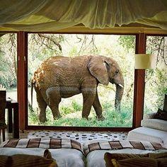 E para os casais aventureiros, já imaginou acordar e se deparar com um elefante em frente a janela do seu quarto? #africa #honeymoon #luademel #love #elephant #elefante #safari #noivas #cool #southafrica #casamento #wedding #noivos #wanderlust #travel #trip #viagem #lunademiel #travelgram #luxury #luxurytravel #adventure #luxwt #awesome #amazing #bride #noiva #sweet #amor #animals