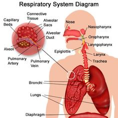 Interior pictures respiratory electronic wallpaper electronic th grade ch lesson what is the respiratory system cilia structure of the human respiratory system explicated with diagrams respiratory system drawing label ccuart Choice Image