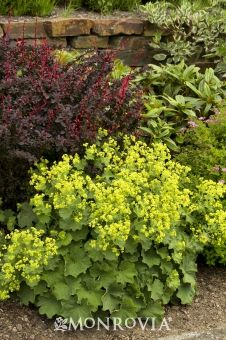 Monrovia's Thriller Lady's Mantle details and information. Learn more about Monrovia plants and best practices for best possible plant performance. Garden Shrubs, Shade Garden, Garden Plants, Indoor Plants, Flower Gardening, Rockery Garden, Forest Plants, Shade Flowers, Yellow Flowers