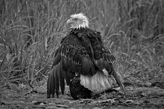 BW Bald Eagle Trying to Dry (1 of 1)