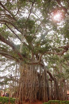 400 years old big banyan tree bangalore