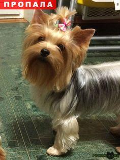 Пропала собака йоркширский терьер г.Бронницы http://poiskzoo.ru/board/read28779.html  POISKZOO.RU/28779 .. августа в Воскресенском районе рядом с г. Бронницы ДНП Кипреево пропала девочка йоркширского терьера. Возраст .. года, убежала с участка, никто не видел, куда побежала, в какую сторону. Откликается на кличку Эмми. Девочка с длинной красивой шерстью, стоит клеймо, окрас серая сталь, похожа на выставочного Йорка. Огромная просьба нашедших вернуть хозяевам за вознаграждение! Всем, кто…