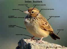 Indian Bushlark Identification guide by Divesh Kumar Saini (https://www.facebook.com/divesh.saini)