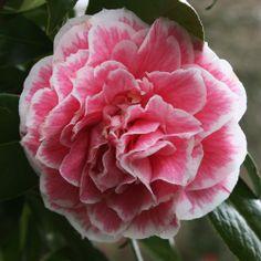 camellias Hikarugenji