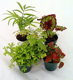 "Terrarium  Fairy Garden Plants - Assortment of 5 Different Plants in 2"" Pots"