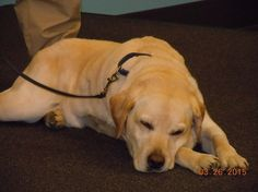 Rest in peace Dennis  Cancer claims the life of beloved canine police Bomb Dog.