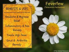 Feverfew (Tanacetum parthenium) got its name from the traditional use for treating fevers. It also has the reputation of being an effective remedy for headaches and migraine, and scientists believe that substances found in the herb might act in similar way as aspirin.