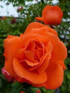 B R Ambedkar Educational Philosophy: At first, he started two hostels for Dalit student. Beautiful Rose Flowers, Pretty Roses, Love Rose, Flowering Bushes, Hybrid Tea Roses, Orange Roses, Belleza Natural, Summer Garden, Flower Beds