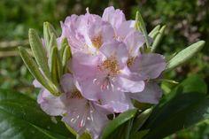 Rhodo | Vesan viherpiperryskuvat – puutarha kukkii