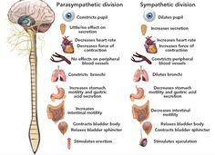 Parasympathetic and sympathetic effects Nervous System Anatomy, Nursing School Tips, Bsn Nursing, Nursing Schools, Neurological System, Ap Psychology, Pharmacy School, Autonomic Nervous System, Human Body Systems