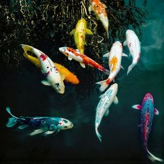 """Koi fish are the domesticated variety of common carp. Actually, the word """"koi"""" comes from the Japanese word that means """"carp"""". Outdoor koi ponds are relaxing. Koi Fish Pond, Koi Carp, Fish Ponds, Beautiful Fish, Animals Beautiful, Cute Animals, Pretty Fish, Beautiful Pictures, Beautiful Creatures"""