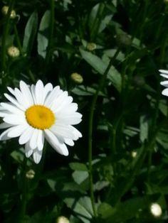 Daisies are so beautiful! Daisies, Garden, Plants, Beautiful, Margaritas, Garten, Margarita Flower, Lawn And Garden, Gardens
