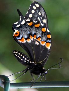 Black Swallowtail Butterfly - Stunning !