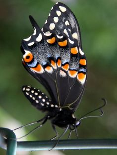 Black Swallowtail Butterfly - Stunning !