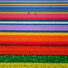 チューリップ畑(Tulip Fields)