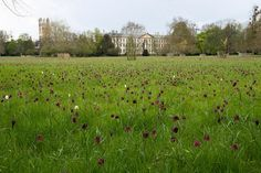 Snakeshead fritillaries growing wild in the water meadows around Magdalen College, Oxford, shown here in May. Among the most celebrated wild fritillary meadows in Britain, it is open to the public for one Sunday a year. Photograph by Andrew Johnson, via Flickr.