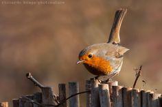 Pettirosso by Riccardo Braga Little Birds, Love Birds, Little Red, Robin Day, Robin Bird, Marilyn Monroe Painting, European Robin, Robin Redbreast, Bird Art
