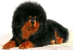 """The """"Lion of Tibet"""", as it is called in China, the Tibetan Mastiff has returned to the attention of dog lovers in recent years. The Tibetan Mastiff is the most expensive dog in the world according to the Guiness Book of World Records. Giant Dog Breeds, Dog Breeds List, Beautiful Dogs, Animals Beautiful, Dogue Du Tibet, Tibetan Mastiff Dog, Most Expensive Dog, Westminster Dog Show, Tibet"""