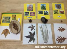 Learning About Leaves from Trillium Montessori