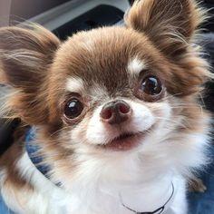 きらら♡ ・ みなさ〜ん おやすみなさいでしゅ😴🌙 ・… I'm not sure what it says but I love love this sweet The very best Chihuahua pictures. I like these lovely pet dogs. Cute Puppies, Cute Dogs, Dogs And Puppies, Doggies, Cute Baby Animals, Funny Animals, Chihuahua Love, Teacup Chihuahua Puppies, Dog Pictures