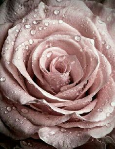 Rarest Rose.