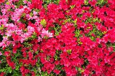 京都フォト通信: 躑躅 Kyōto Botanical Garden, Sakyō-ku, Kyōto Fujifilm Finepix X100 京都府立植物園(京都市左京区下鴨半木町)