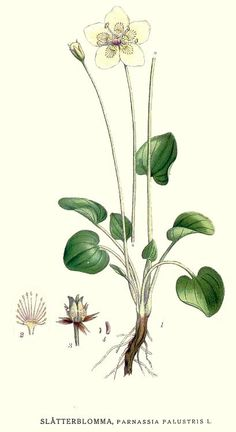 Parnassia palustris by Carl Axel Magnus Lindman.