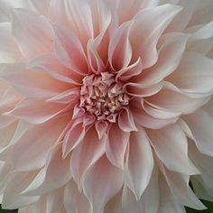 Dahlia, Cafe Au Lait #dahlia #flower #bloem