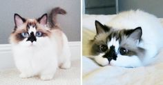"""Meet Albert, The Cutest Munchkin Cat With Unique """"Skull"""" Nose And 450,000 Followers 