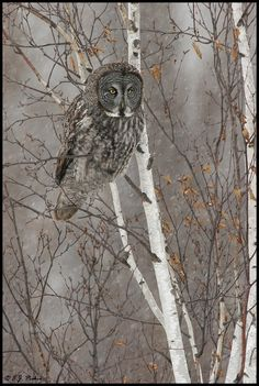 Grey owl in the Birch trees