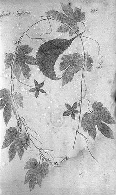 Vine - 1747