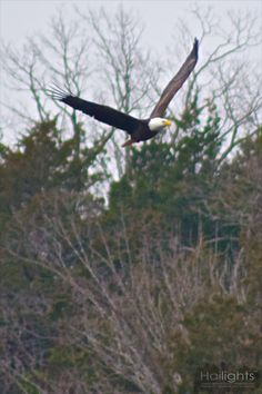 Bald eagle in flight over Lake Taneycomo in Branson, MO.