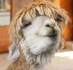 Here Are Some Alpacas With a Smile - World's largest collection of cat memes and other animals Alpacas, Baby Animals, Funny Animals, Cute Animals, Smile World, Llama Face, Llama Alpaca, Architecture Tattoo, Animal Jokes