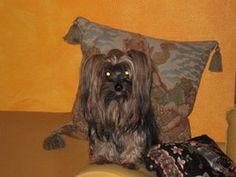 Yorck Edith maître de Chanel (Chien Yorkshire Terrier), Nity (Chien Chihuahua) - Wamiz