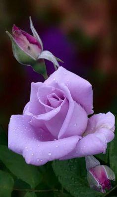 Beautiful Rose Flowers, Pretty Roses, All Flowers, Flowers Nature, Amazing Flowers, Colorful Flowers, Lavender Roses, Purple Roses, Virtual Flowers