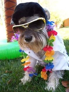 Elvis is dead and so are you. | Community Post: 30 Mini Schnauzers Who Have Just About Had Enough Of Dressing Up