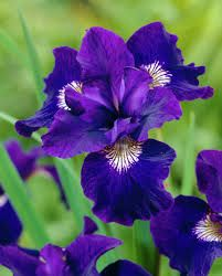 patches of iris and violets - Google Search