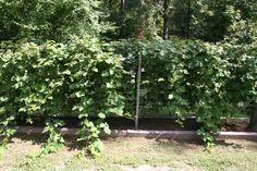 Trellised Loganberries via Christine R.   #starkbros customer photo
