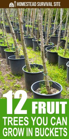 12 Fruit Trees You Can Grow In Buckets Homestead Survival Site is part of Growing fruit trees - Growing fruit trees in buckets or a similar container is an excellent way to cultivate your own fruit, even in small spaces Dwarf Fruit Trees, Fruit Plants, Fruit Garden, Garden Trees, Harvest Garden, Garden Water, Veg Garden, Garden Hose, Garden Plants